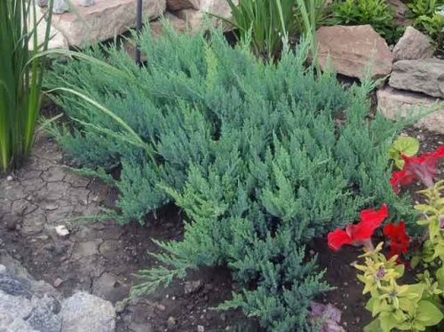 Миниатюрные вечнозеленые туи