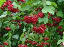 10 Самых популярных растений от кашля
