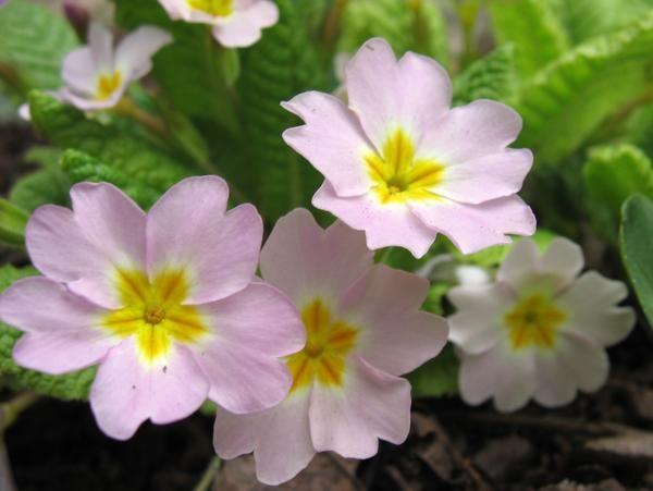 2 Primrose - прекрасен и лечебен дар на пролетта