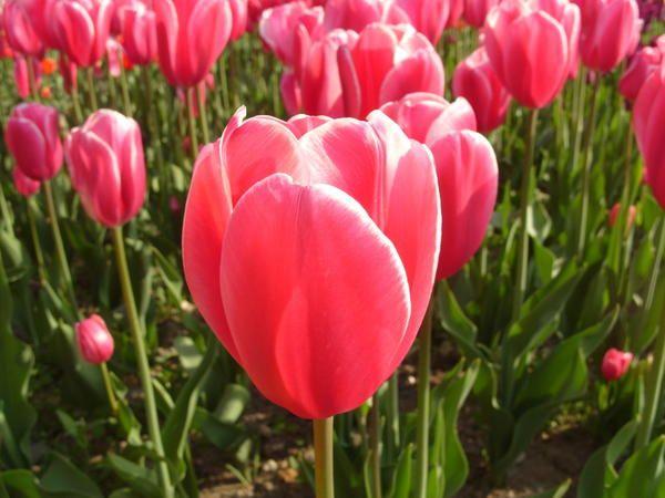 Тюльпан сорт Orlenda