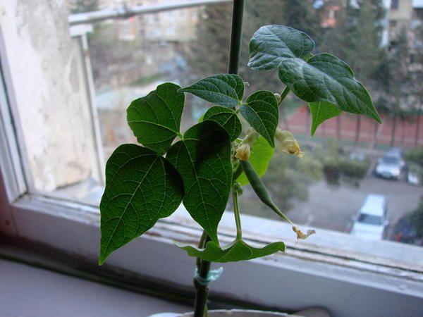 Фасоль, фото с сайта abonsnaiper.livejournal.com