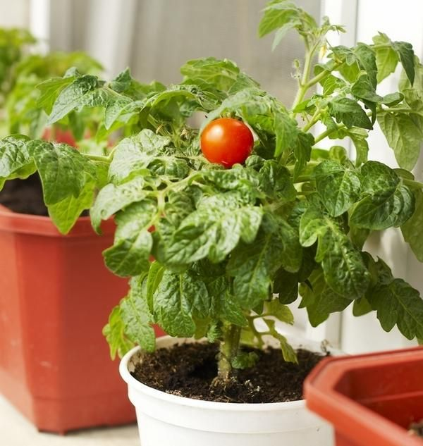 Уход за домашними помидорами имеет мало отличий от ухода за ними на даче или приусадебном участке