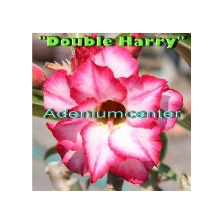 Adenium-obesum-dvojno Harry-big.jpg
