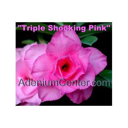 Adenium-obesum-triple-šokantno-roza-big.jpg
