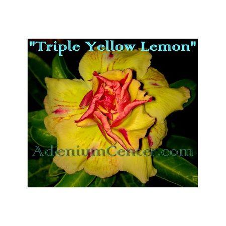 Adenium-obesum-triple-rumeno-limone-big.jpg