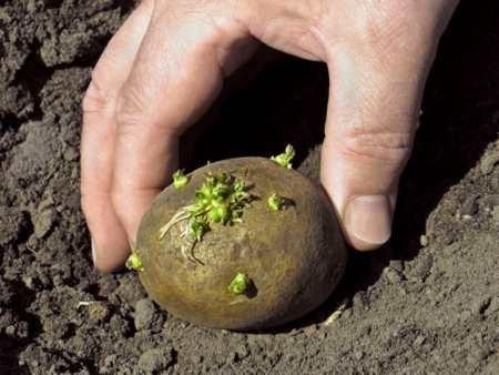 Agrotechnics krompirja