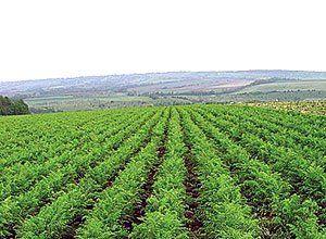 Морковное поле