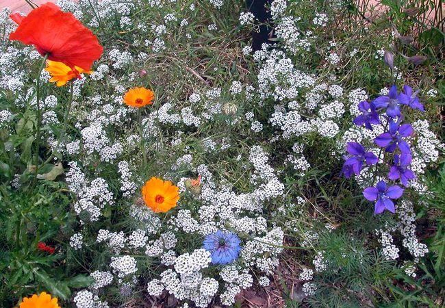 Priprava tal in preliv Alyssum