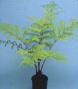 Австралийската дърво папрат (Cyathea Cooperi)