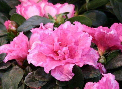 Как ухаживать за цветком азалия в квартире?