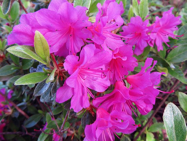 Азалия в домашних условиях – зимовка и полив азалии - азалия сбрасывает листья