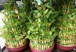 Бамбук комнатный: уход, размножение, болезни