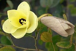 Баухиния – яркое орхидейное дерево из тропиков