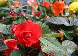 Begonia: kako doseči bogato cvetenje?