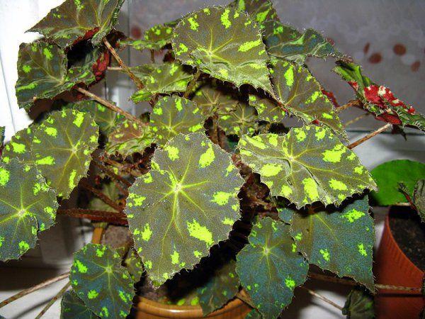 Бегония листовая - украшение интерьера