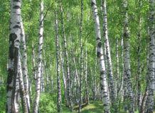 Bela breza, si moja ljubezen!, Bele breze, breze kovčki, breza sap, breza na vašem vrtu