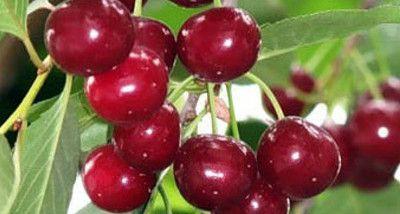 Крупноплодная и сладкая вишня Живица порадует регулярным урожаем