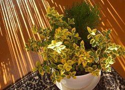 Бересклет – яркий представитель для дома и сада