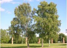 Bela breza ali povešene