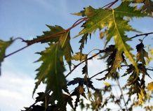 breza dalekarliykaya