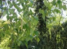 Dahurian breza