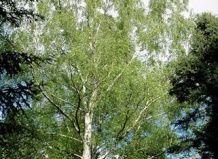 breza Japonski