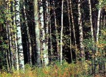 listnati breza