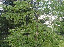 breza rebrasti