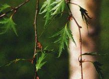 Birch z ločeno-oblikovanimi listi