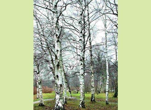 Bela breza (Betula pubescens)