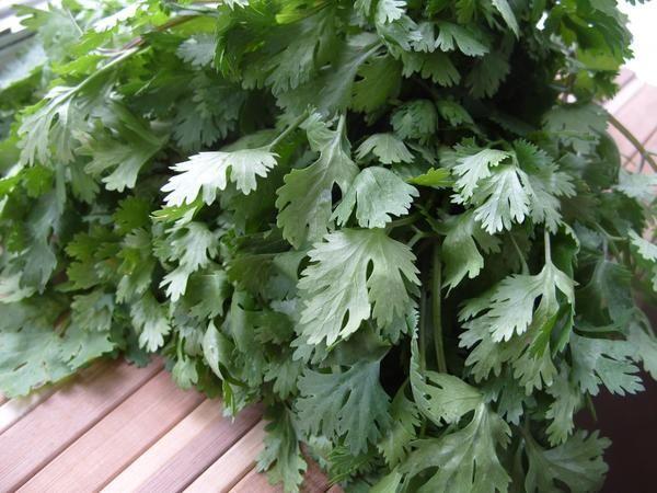 Svetopisemski rastline - koriander