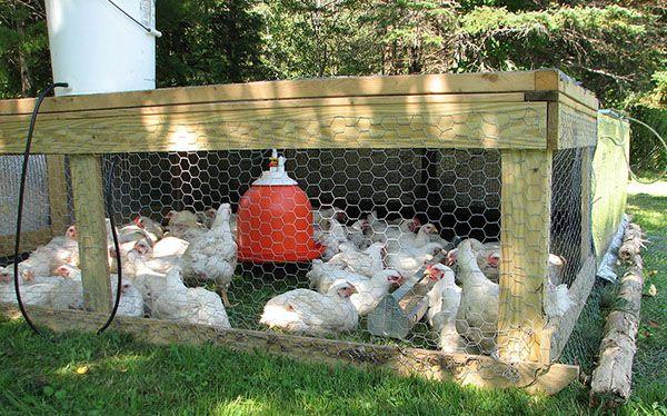 С подходящи грижи за риск значително намалени пиленца болестни