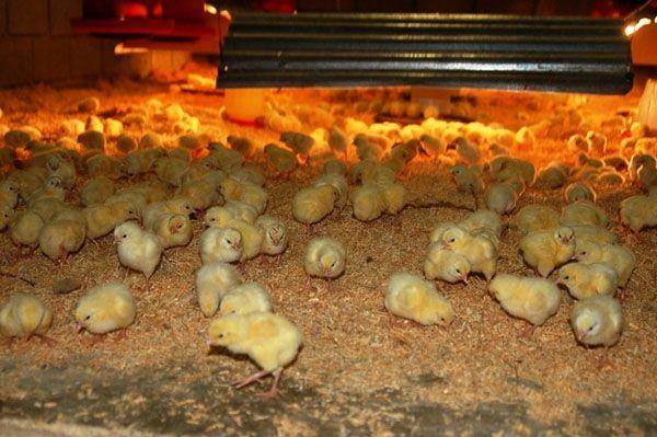 Пилетата са активни и здрави