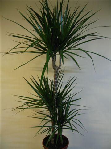 Okrasna rastlina Dracaena soba