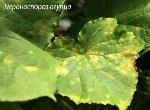 болезни и вредители огурцов, пероноспороз, ложная мучнистая роса
