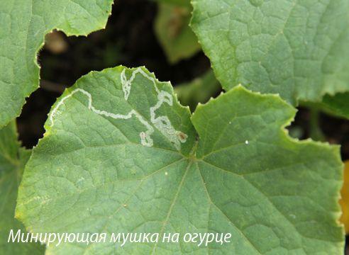 болезни и вредители огурцов, минирующая мушка