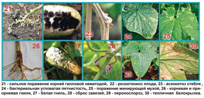 болезни и вредители тыкв и огурцов