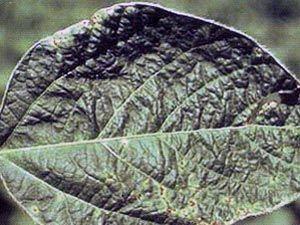 Бактериальное увядание растений