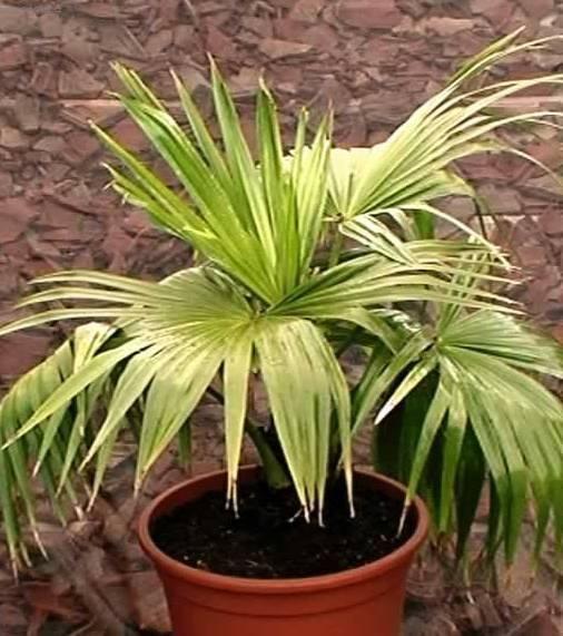 болезни и вредители пальм в домашних условиях