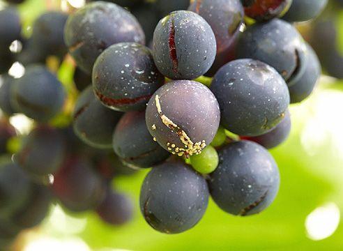 Оидиум на плодах винограда