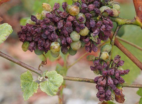 Серая гниль на плодах винограда.