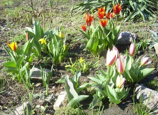 botanični tulipani