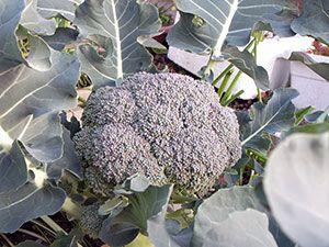 Brokoli - raste na prostem, sajenje in nego