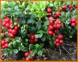 rdeče borovnice