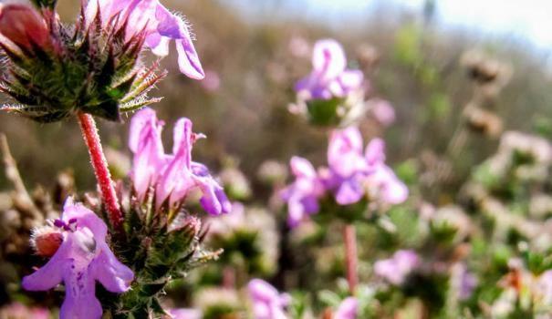 Чабер садовый: выращивание и полезные свойства