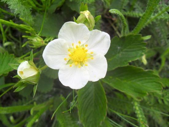 Чем лесная клубника отличается от садовой?