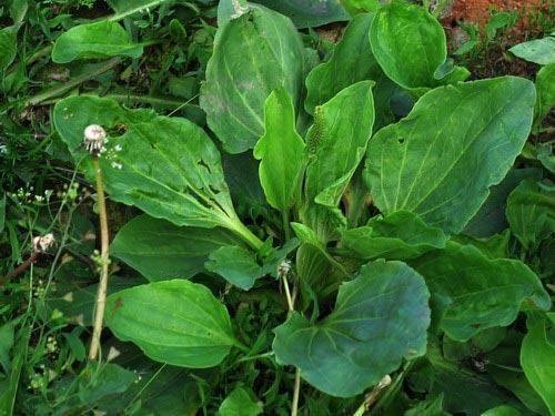 Чем особенно растение подорожник ланцетолистный?
