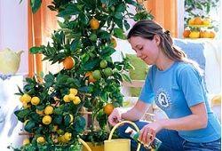 Kot koristno mandarine doma?