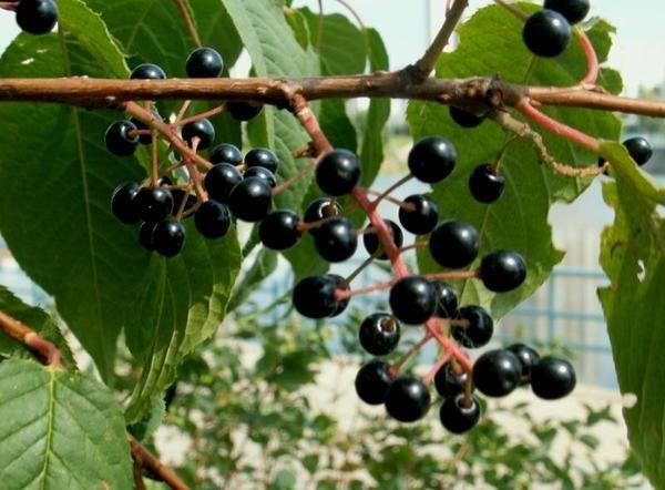 češnja sadje