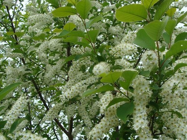 Virgin češnje cvetovi